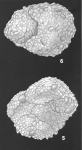 Textularia pseudosolita Zheng Identified Specimen