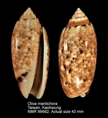 Oliva mantichora