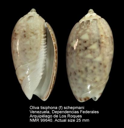 Oliva tisiphona