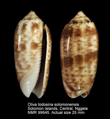 Oliva todosina solomonensis