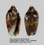 Oliva ozodona sandwicensis