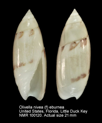 Olivella nivea