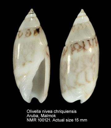 Olivella nivea chiriquiensis