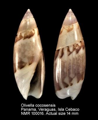 Olivella cocosensis