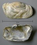Panopea glycimeris