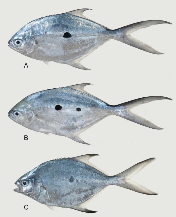 Trachinotus macrospilus