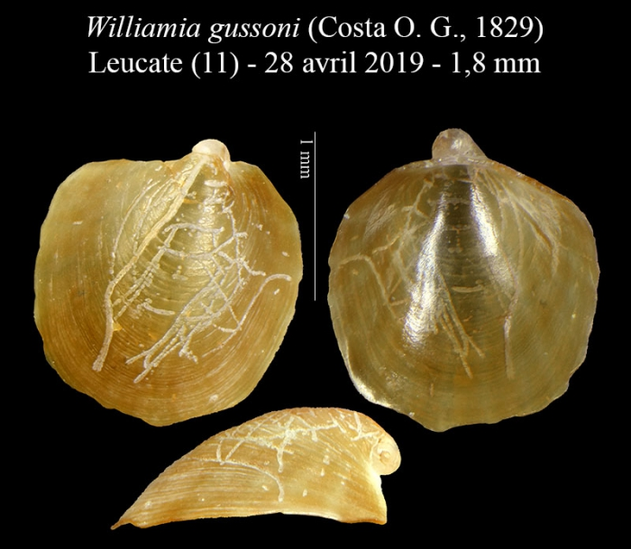 Williamia gussoni (Costa O. G., 1829)