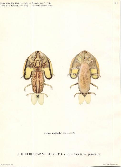 Argulus multicolor