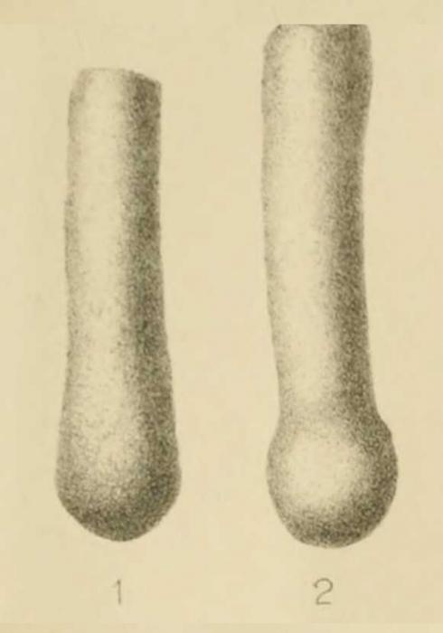 Hyperammina elongata var. clavatula Howchin, 1888
