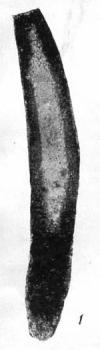 Hyperammina vulgaris var. minor Rauzer-Chernousova, 1948
