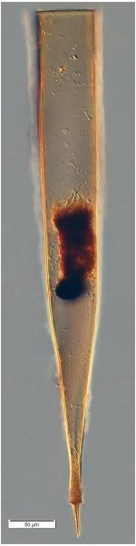 Xystonellopsis krämeri (Brandt 1907)