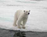 Ursus maritimus - polar bear