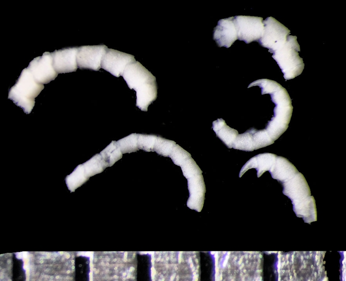 Decametra modica AH Clark, 1911, holotype USNM 35385