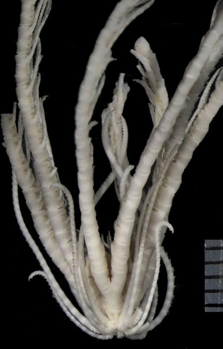Daidalometra eurymedon AH Clark, 1950, holotype USNM E8991