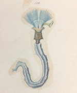 Placostegus caeruleus from Schmarda Plate 21