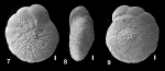Ammonia pawlowskii Hayward and Holzmann, 2019 holotype