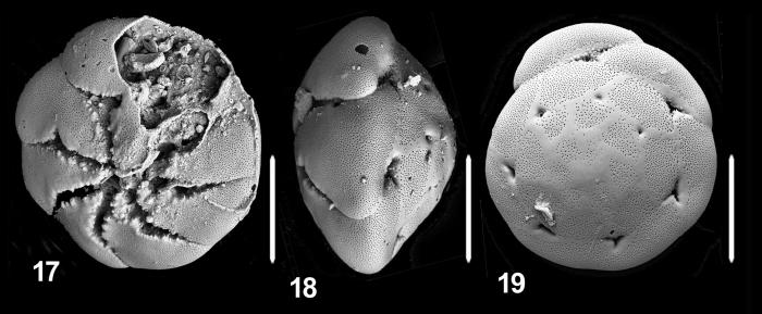Ammonia langeri Hayward and Holzmann, 2019 holotype