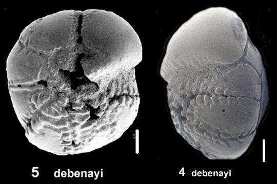 Ammonia debanayi Hayward and Holzmann, 2019 holotype