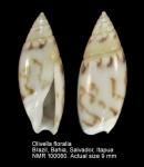 Olivella floralia