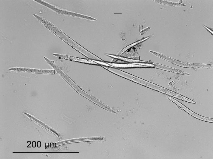 Heteroxya corticata