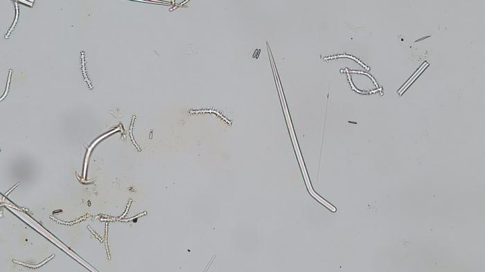 Acanthoclada prostrata