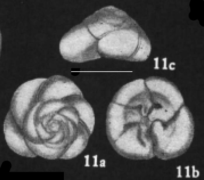 Ammonia convexidorsa Zheng, 1978 holotype