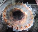 adult medusa, preserved, dark background