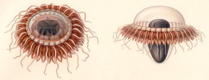 Original drawing from Vanhöffen