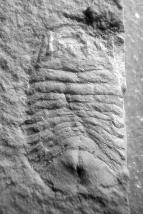 Archaeoniscus italiensis