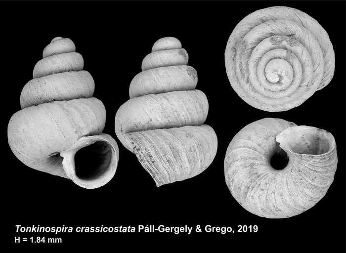 Tonkinospira crassicostata Páll-Gergely & Grego, 2019