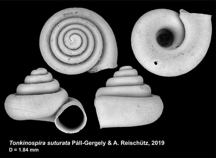Tonkinospira suturata Páll-Gergely & Grego, 2019