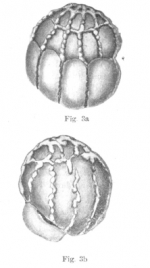 Rotaliatina globosa Yabe & Asano, 1937