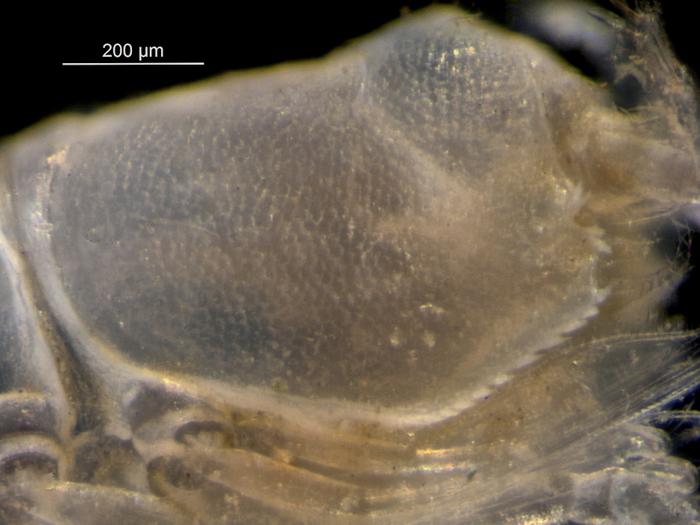 Eudorella truncatula