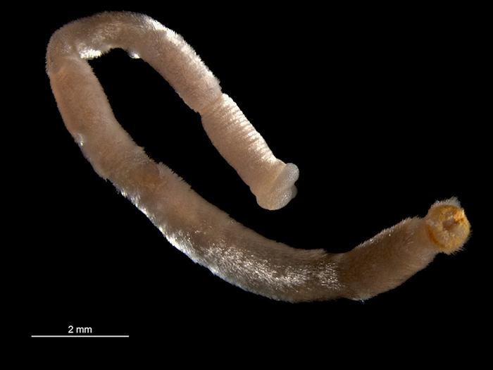 Chaetoderma nitidulum