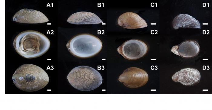 Lepetodrilus concentricus type specimens