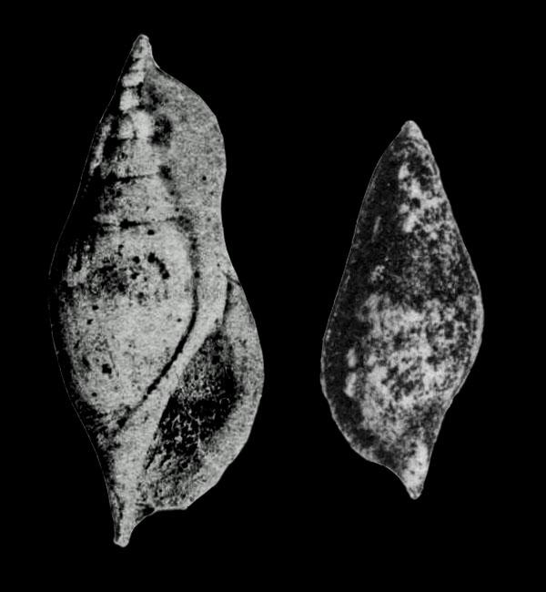 Rimella (Cyclomolops) sublaevigata in Cossmann, 1904, pl. 3, figs. 5, 6