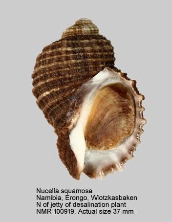 Nucella squamosa