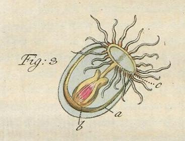 """karminrothe Beroe"" of Slabber (1775), type illustration for Oceania sanguinolenta Péron & Lesueur, 1810"