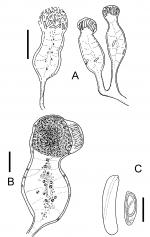 Brinckmannia hexactinellidophila
