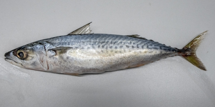 Scomber colias, Atlantic Chub mackerel