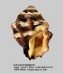 Semiricinula chrysostoma