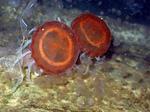 two medusae