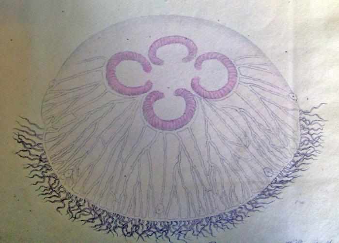 medusa Aurelia colpota (from Brandt, 1838)
