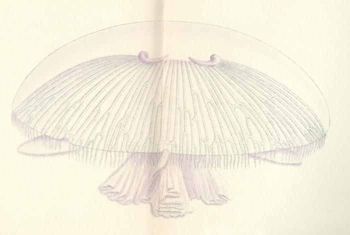 medusa from original publication