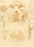 Plate from Haeckel (1880)