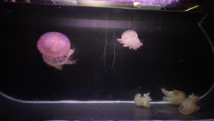 Adult and young medusae swimming