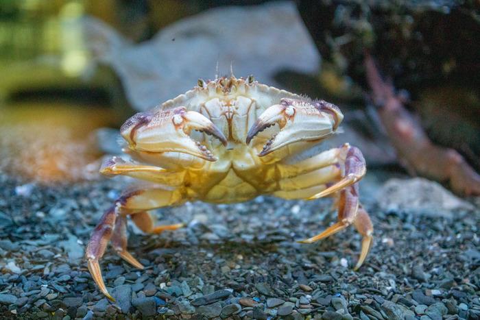 Crabe commun - IML