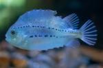 Petite grosse poule de mer - IML