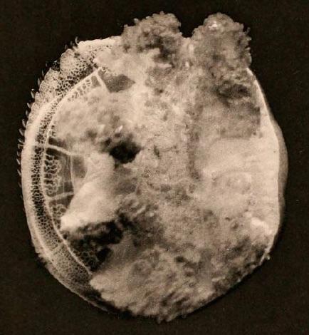 medusa image from Maas (1903)