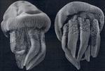 medusae from Rao (1931)